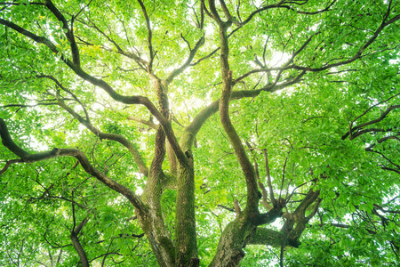 Albero, Foresta, Albero di canfora, Ecologia, Verde fresco.