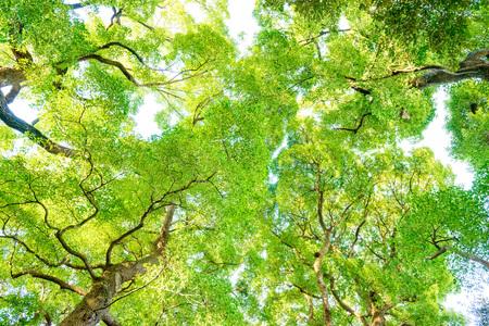Albero, Foresta, Albero di canfora, Ecologia, Verde fresco. Archivio Fotografico - 76320767