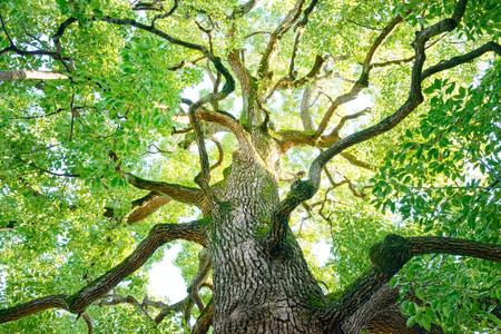 Albero, Foresta, Albero di canfora, Ecologia, Verde fresco. Archivio Fotografico - 76371151