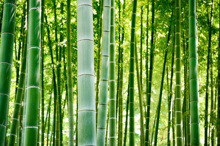Bamboo forest, Japanese bamboo grove. Imagens