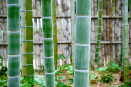 Bamboo forest. Japanese bamboo grove. Stock Photo