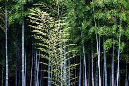 arboleda: Bosque de bambú, arboleda de bambú japonesa.