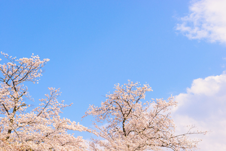 Cherry blossoms Standard-Bild