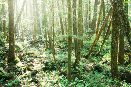 primeval forest: Deep forest, Japanese primeval forest. Stock Photo