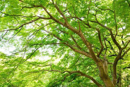 Fresh green maple, Park in Tokyo