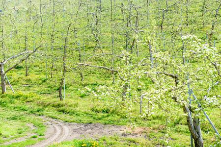 Fresh green apple field