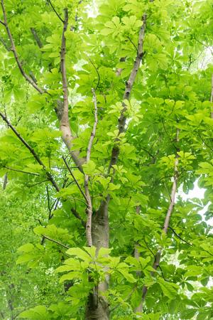 buckeye in the forest