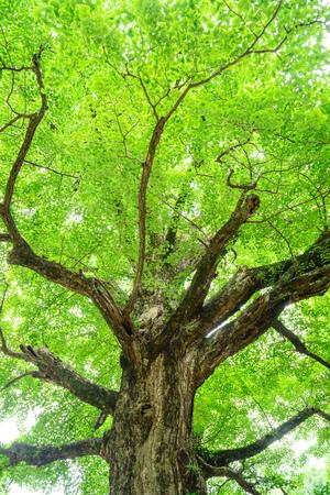 Big gingko nut tree
