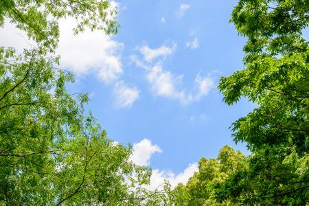 Rvores verdes frescas e céu azul e nuvens Foto de archivo - 78529642