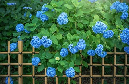 Hydrangea, Japanese rainy season. Heart shape.