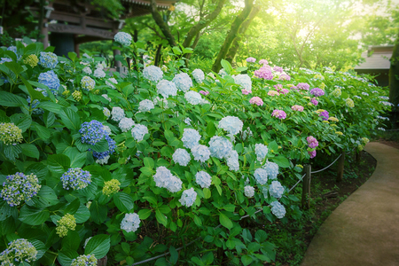humid: Hydrangea, Japanese rainy season. Heart shape.