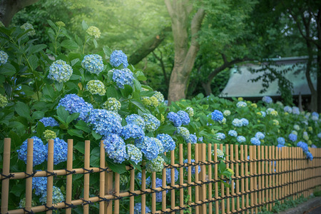 Hydrangea, Japanese rainy season. Heart shape. Фото со стока - 80385307
