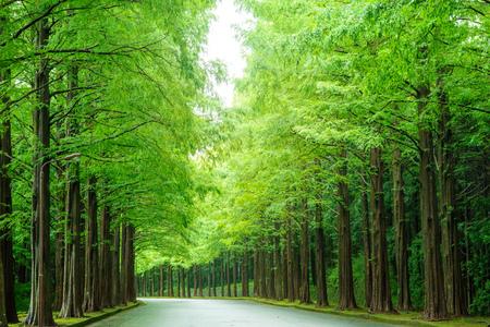 Road of big trees.
