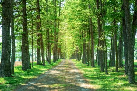 Way of a coniferous tree