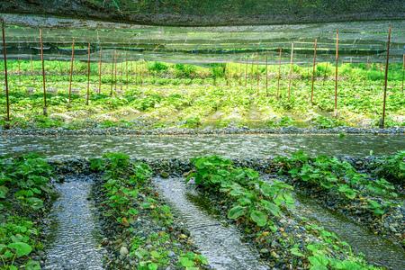 Wasabi field