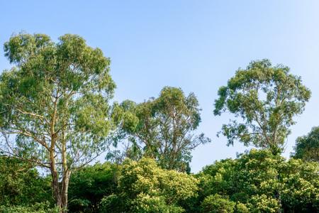 Eucalyptus forest Фото со стока - 81794551