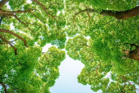 Big tree of Camphor tree