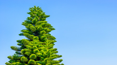 Blue sky and coniferous trees