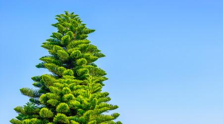 Blue sky and coniferous trees Фото со стока - 81794754