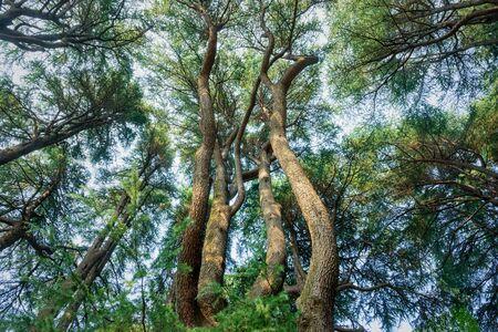 look up at the evergreen tree. Standard-Bild