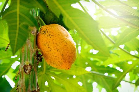 Tropical fruit, Papaya. Фото со стока - 81794537