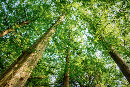 Tall trees forest Фото со стока - 81794538