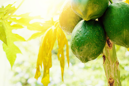 Tropical fruit, Papaya.