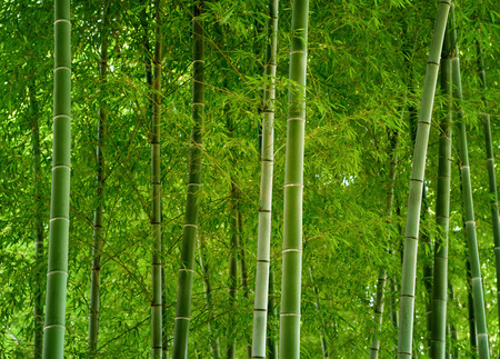 Bamboo forest in Japan.