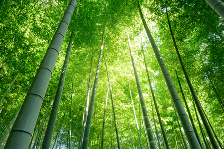 Bamboo forest in Japan. Фото со стока - 82803060