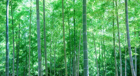 Bamboo forest in Japan. Фото со стока - 82803135