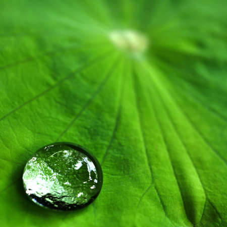 Water drop on lotus leaf / Shadow of lotus leaf and surrounding can reflect in water drop closeup texture with green vivid color background Standard-Bild