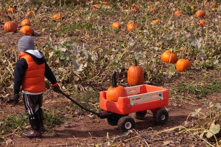 Child picking pumpkins in field photo