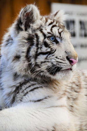 A young white tiger cub with a pink nose