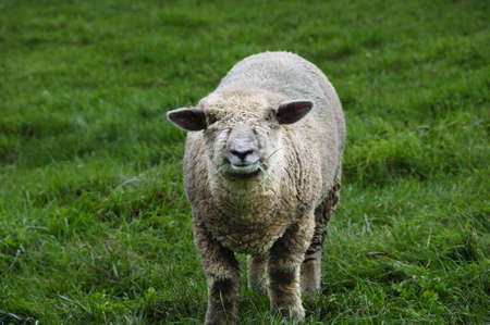 A sheep eating grass in a green pasture