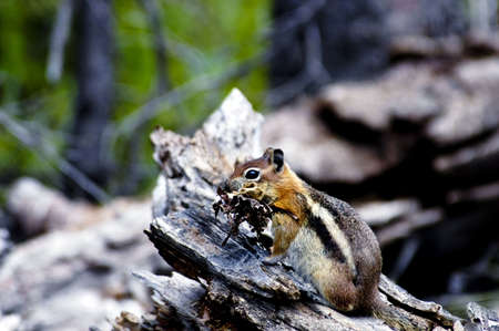 A golden mantle ground squirrel getting ready for winter Imagens - 6303516