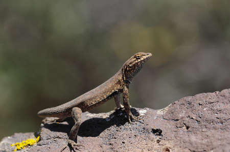 Male Northern Side Blotched Lizard doing his morning pushups.