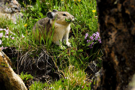 A small pika grazing on spring flowers