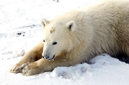 A young polar bear stretched out for a nap