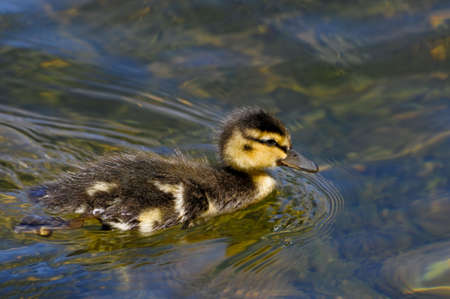 Mallard ducks are among the most common north American ducks.This duckling is likely only a few weeks old. photo