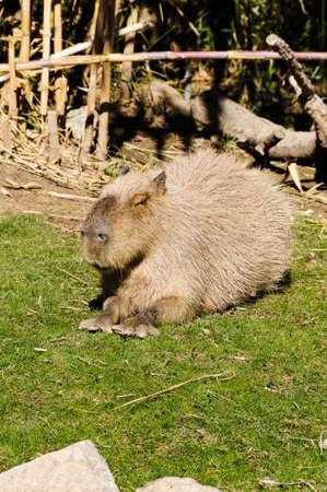 A capybara, big guinea pig, laying in the sun