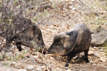 Two javelinas touching noses in the desert