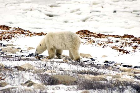 A lone polar bear walking on the tundra Stock Photo - 6423459