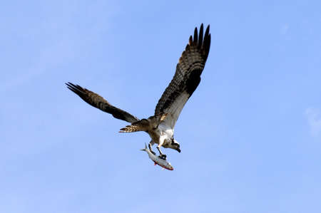 osprey: Osprey with a fish he caught