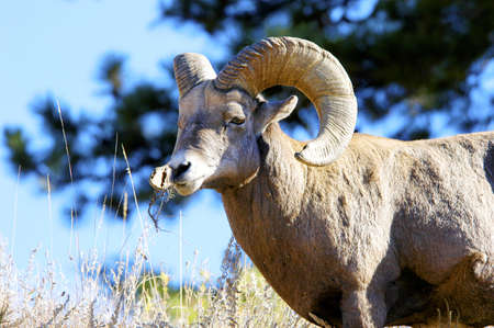 A portrait of a male big horn sheep Stock Photo - 6423464