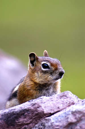 Golden Mantled Ground Squirrel resting on a rock