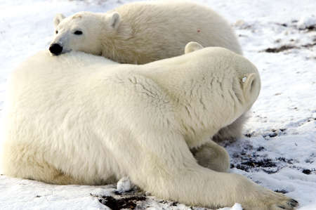 A mother and cub polar bear taking a nap together Stock Photo
