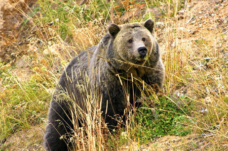Grizzly sow foraging, Yellowstone National Park