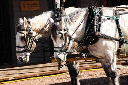 준비에 서있는 두 개의 흰색 말의 팀