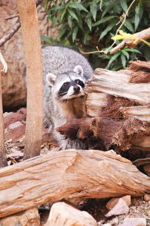 A raccoon looking over a log