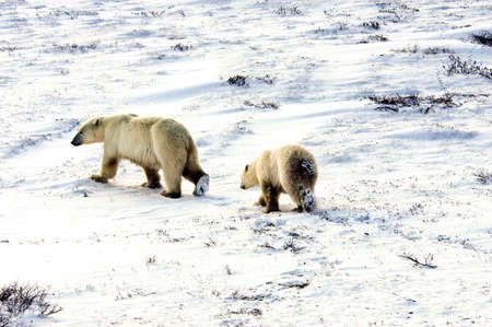 A mother and cub polar bear walking across the snow photo